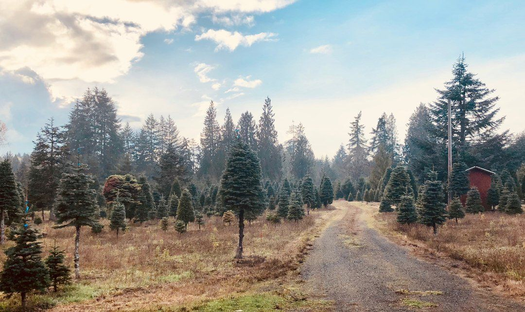 Get your tree in the Christmas Tree Capital | Douglas fir ...