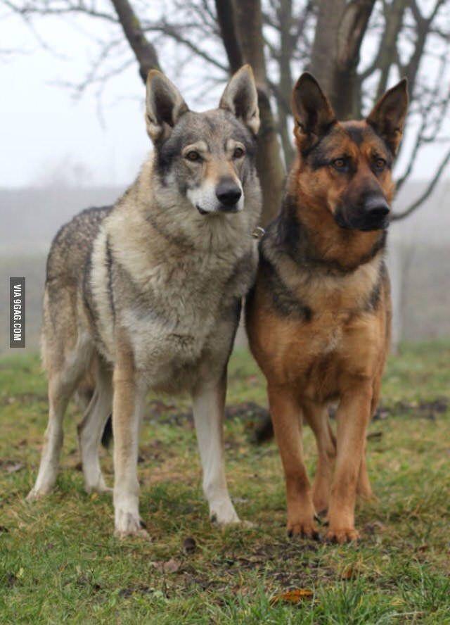 Czechoslovakian Wolfdog And German Shepherd German Shepherd Dogs Wolf Dog Dog Breeds