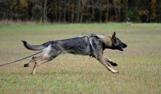 Working Line Gsds German Sheperd Dogs Gsd Dog Sporting Dogs