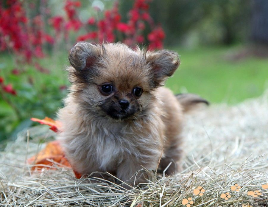 177 best images about Cute Mi-Ki Doggies on Pinterest