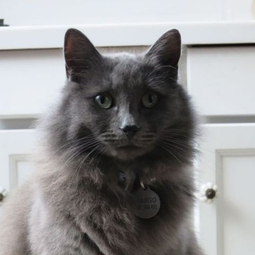 Pin By Lady B On Nebelung Pinterest Nebelung Pets And Cats