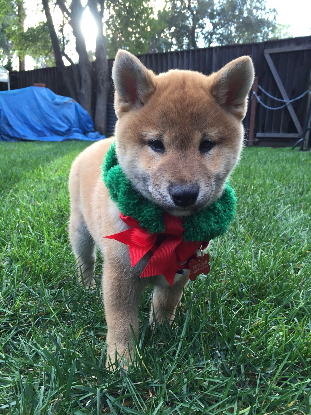 Merry Christmas from the Domingo's! Our shiba inu puppy
