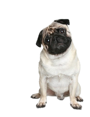 Png Transparent Dog Recherche Google Pug Puppies Funny Pugs Funny Puppy Sitting