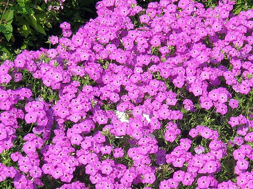 Phlox ground covering planting and gardens for Perennial ground cover with pink flowers