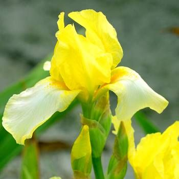 Iris germanica Blessed Again - 1 plant buy online order now
