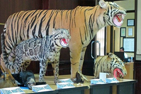 ON THE EDGE OF EXTINCTION - A - THE TIGER (Panthera tigris)