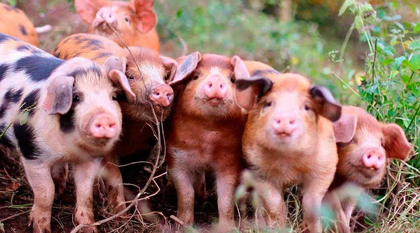 тайланде стране фото какого цвета бывают свинья вот