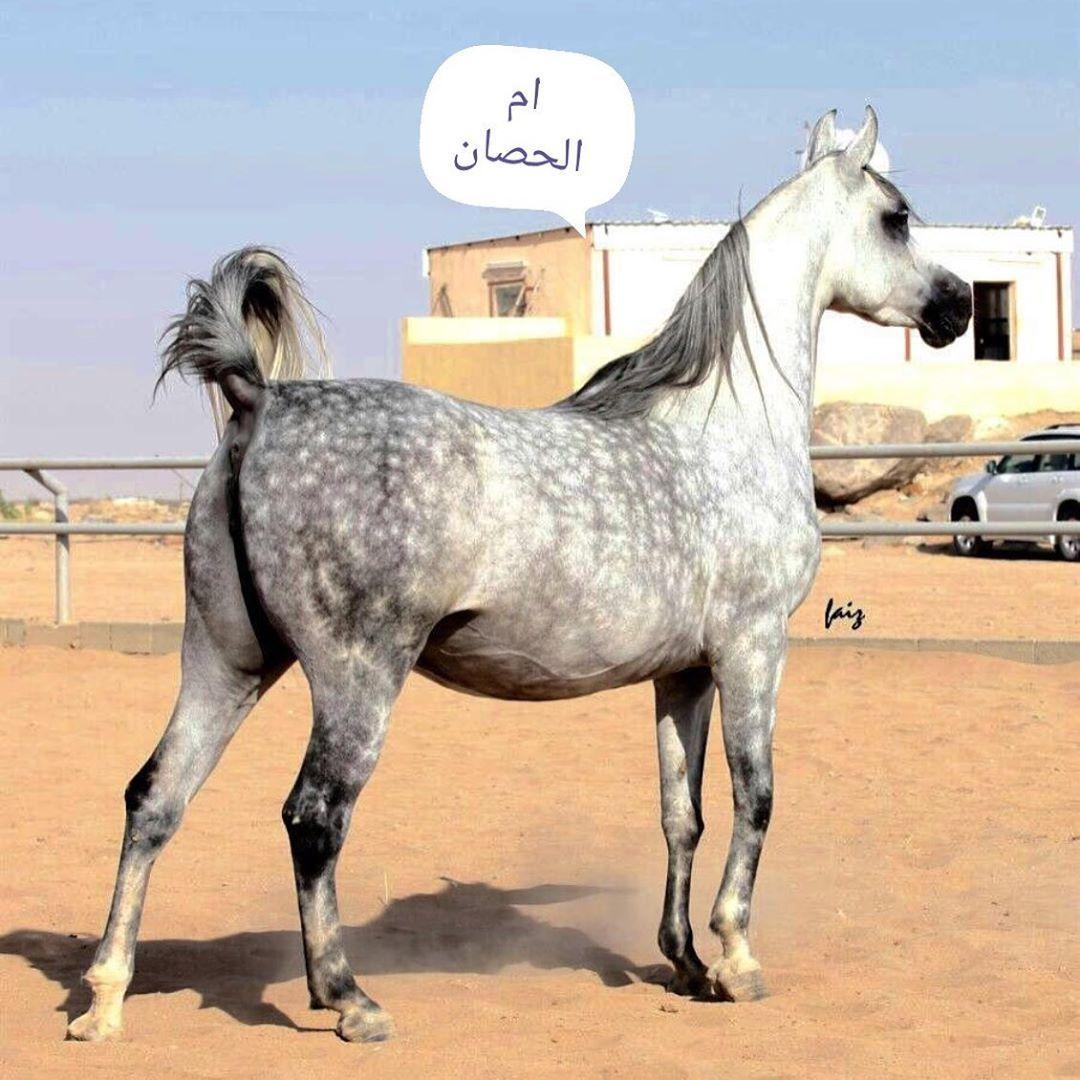 493 Likes 6 Comments خيول الأحلام Dreams Horses Tureky5 On Instagram مزاد خيول الأحلام للإشترك ارسل اسمك ثلاثي ومدينتك 0509643 Animals Horses