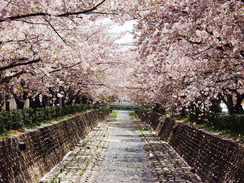 Yeojwacheon Watercourse Only 45 Minute Drive From Busan South Korea Www Airasia Com Cherry Blossom Season Booking Flights Hotel