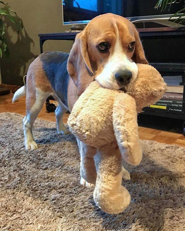 The Beagle Puppy Grooming Beagledaily Beaglefan Beaglestraining