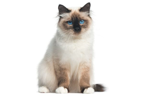 All About The Birman Cat Breed Fluffy Cat Breeds Birman Cat Fluffy Cat