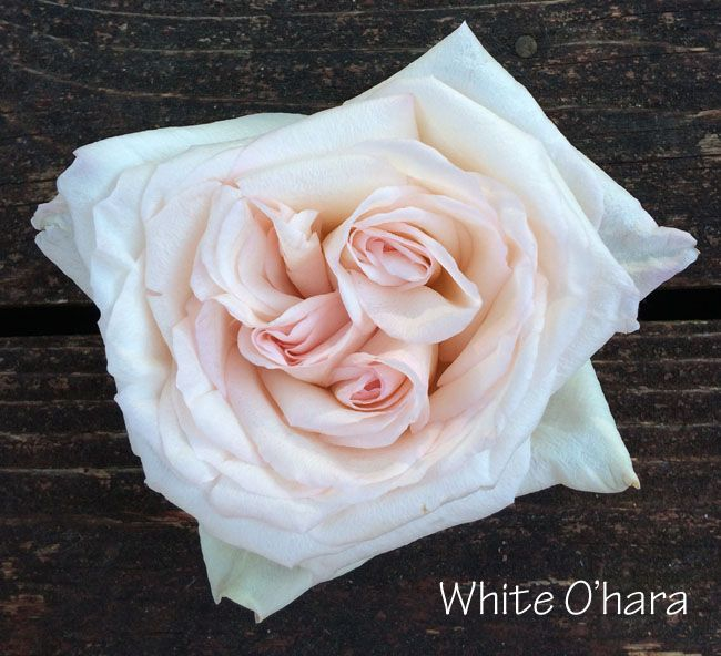 Attractive White Ou0027Hara Garden Rose   A Beautiful Alternative To White Peonies And  These Pretties Are Available Year Round! | Types Of Flowers | Pinterest |  White ...