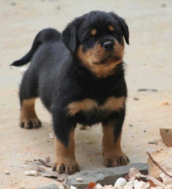 Awe Rottweiler Puppy With The Long Tail Rottweiler Chiot