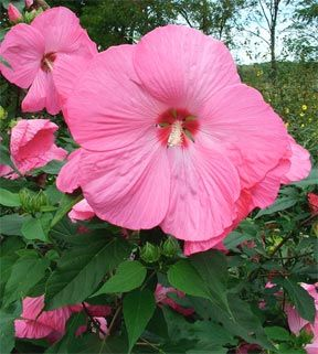 Pink elephant hibiscus this hibiscus is known for its vibrant color pink elephant hibiscus this hibiscus is known for its vibrant color and flower size measuring around 12 inches sunrise is selling this variety in a 2 mightylinksfo