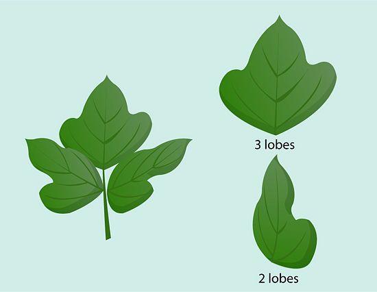 Identify Kudzu Identify Plant Plant Leaves Plants