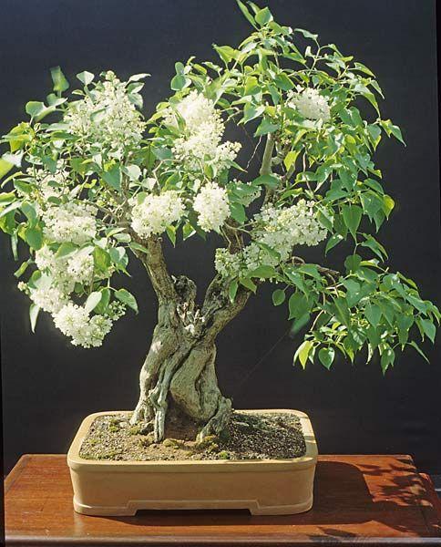 Bonsai Haus rp garden lilac syringa vulgaris bonsai syringa