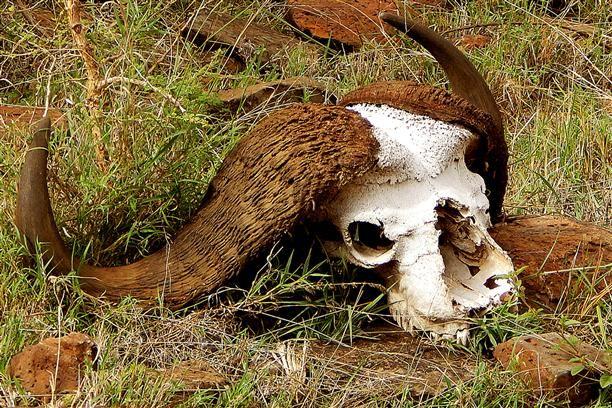 Water Buffalo Skull