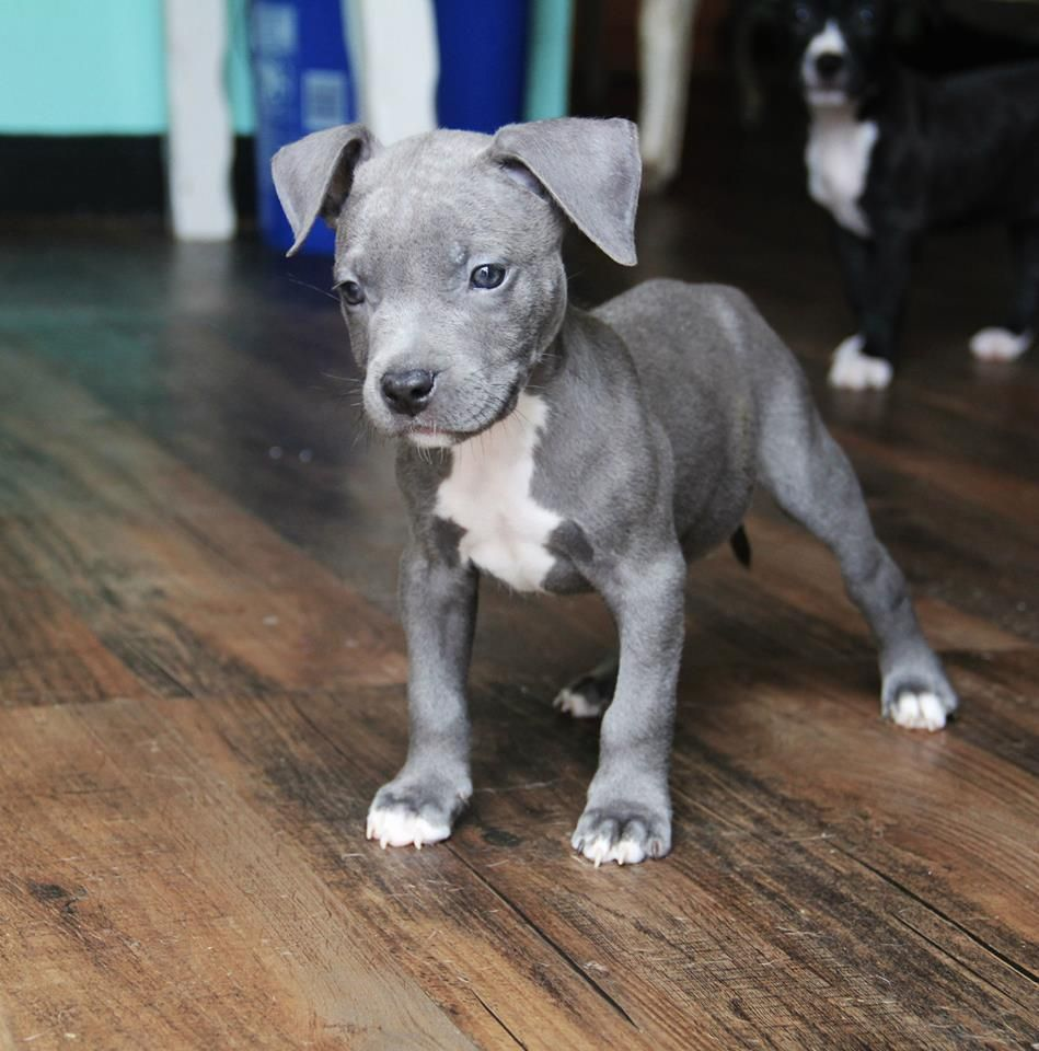 Pin By Dani Rescue Dog Mom On Dogs Pitbull Puppies Cute Baby Animals Cute Animals