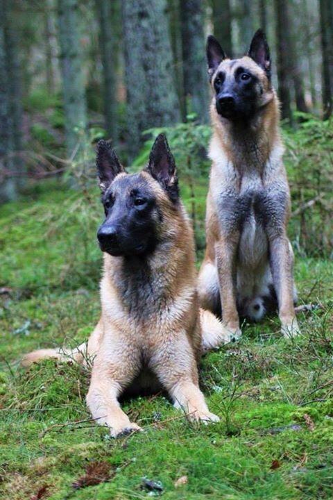 #malinois #sheepdog #bergerbelge (With images)   Malinois ...