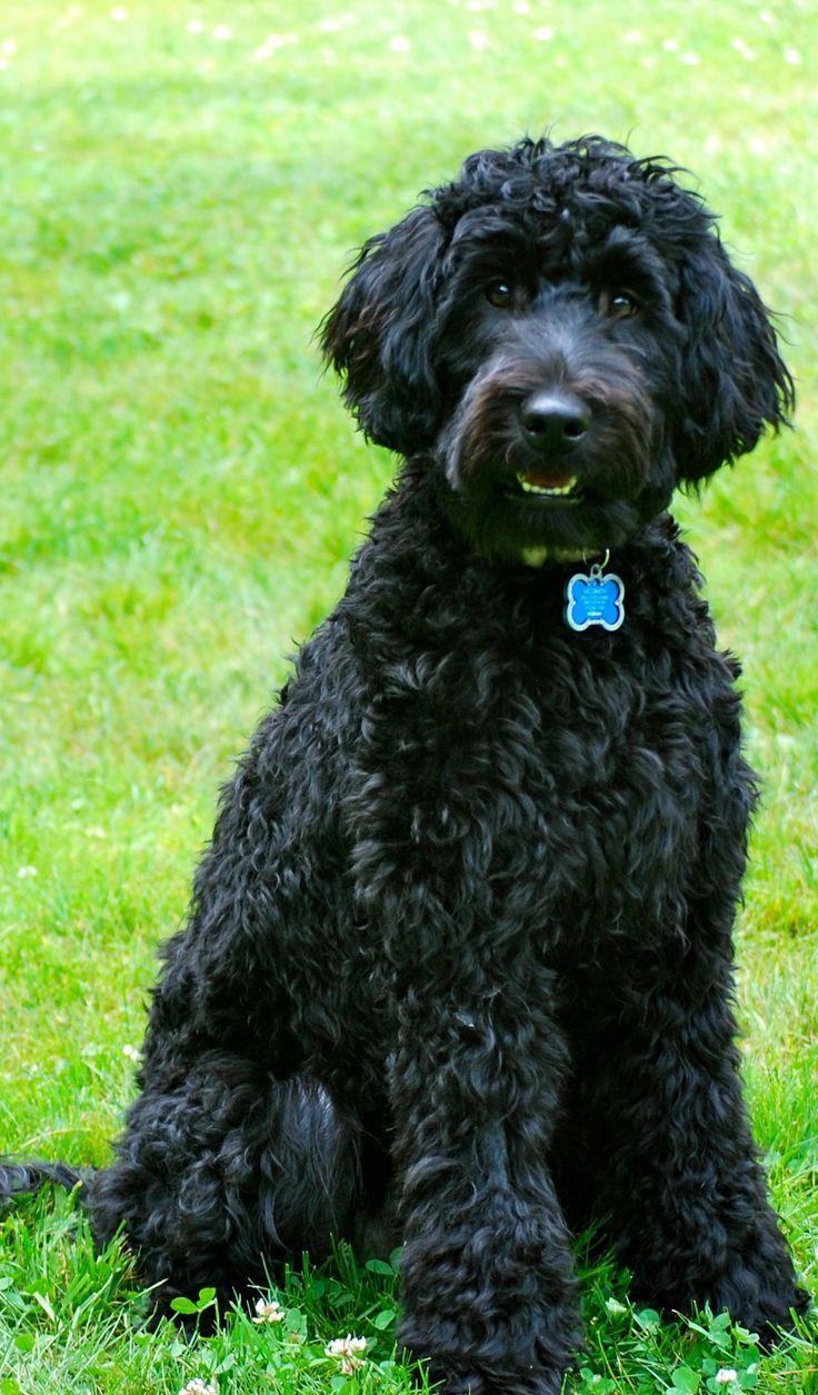 Top 10 Dog Breeds With Little To No Shedding Barbet Is A Medium Sized Dog With Very Attractive Personality Thei Top 10 Dog Breeds Dog Breeds Dogs