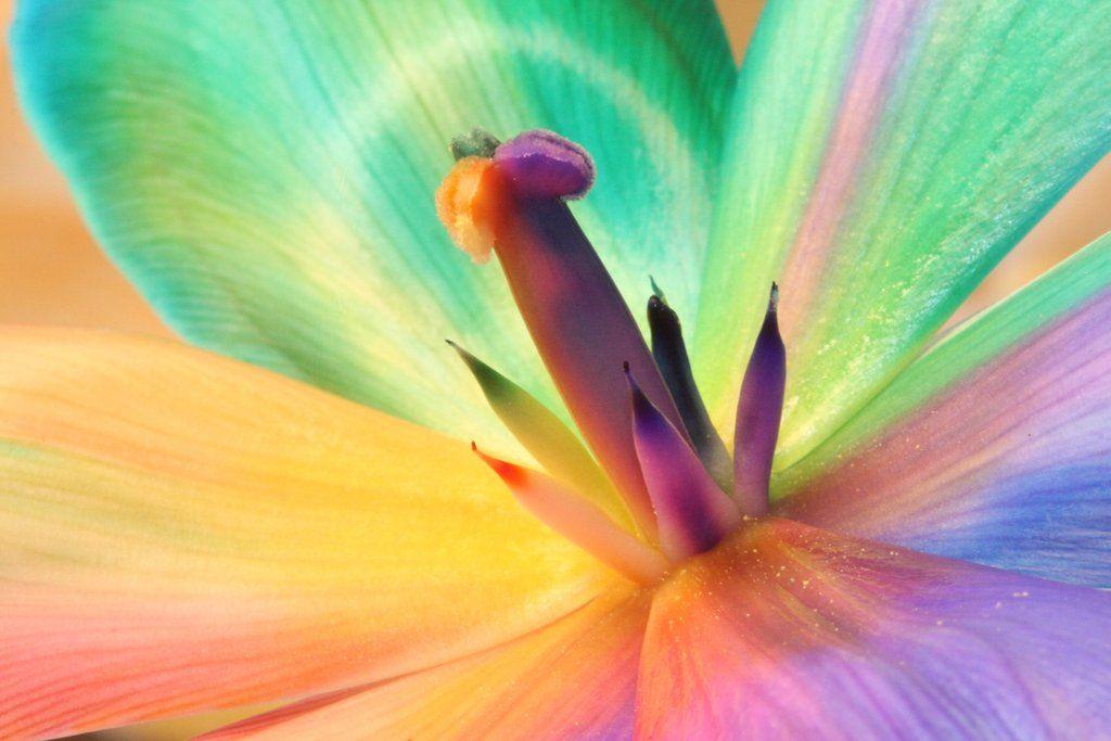 Rainbow_Tulip_Inside by RAINBOWedROSES.deviantart.com on @DeviantArt