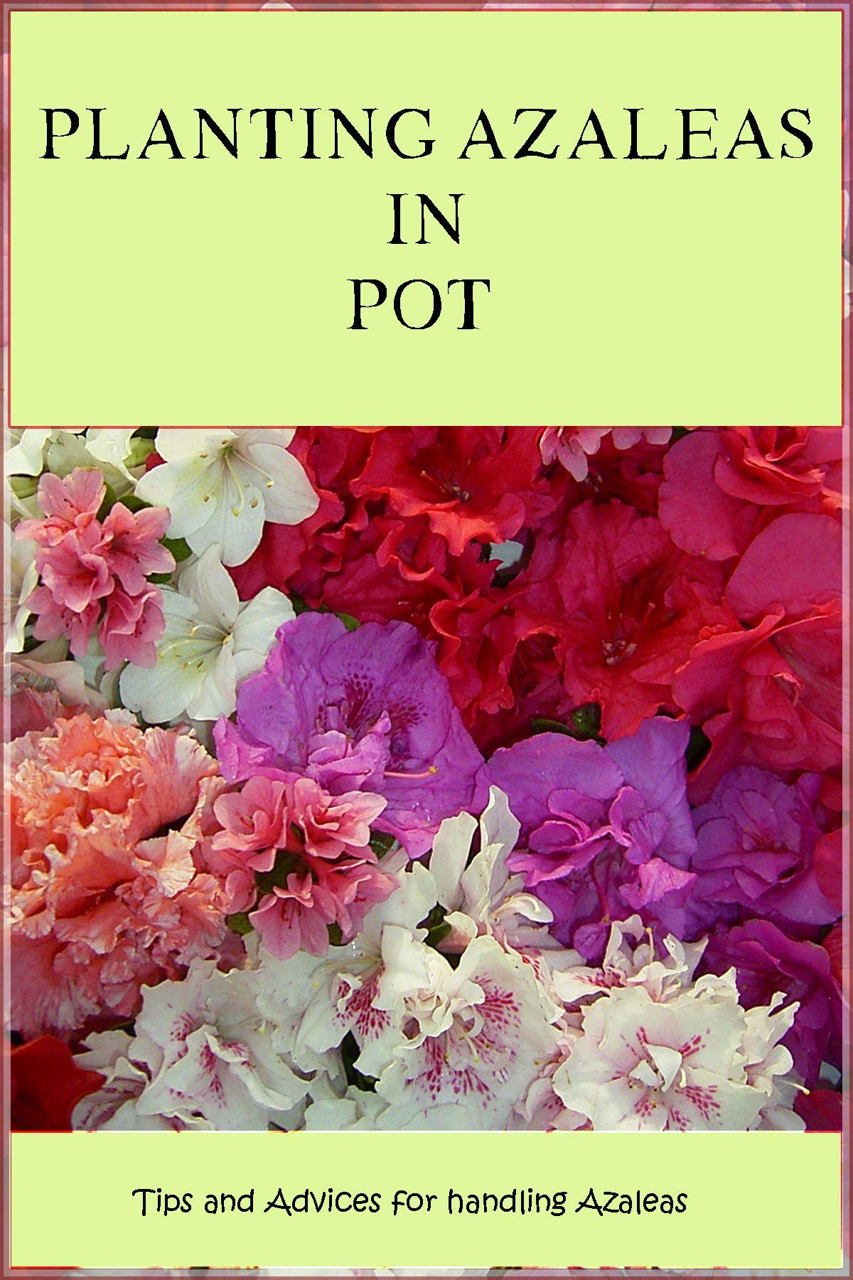 Planting Azaleas In Pot Azaleas Plants Pot
