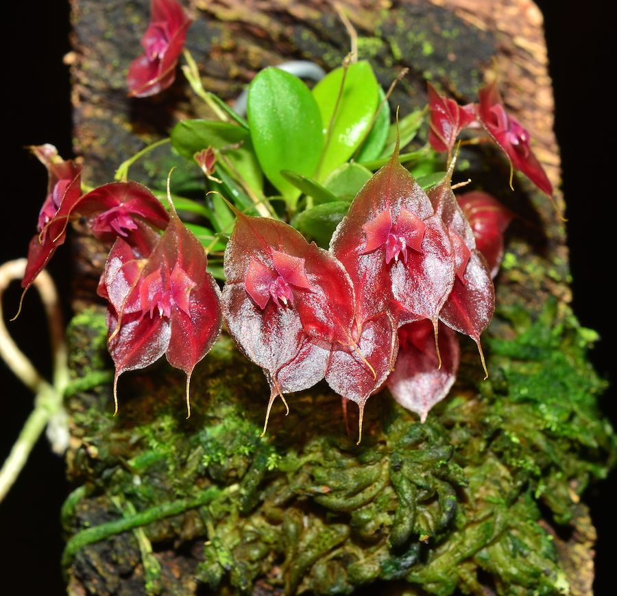 Lepanthes tsubotae - Ecuagenera