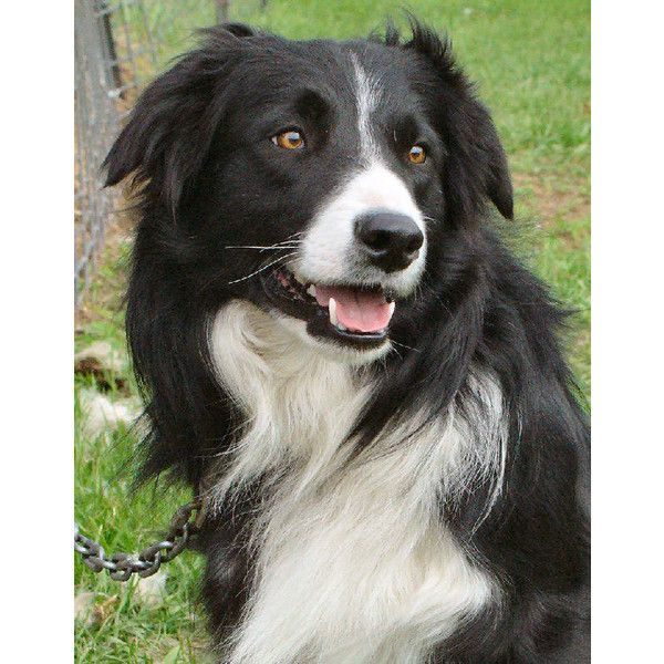 Canada Border Collies Breeders California Border Collies For Sale Found On Polyvore Collie Border Collie Dog Collie Dog