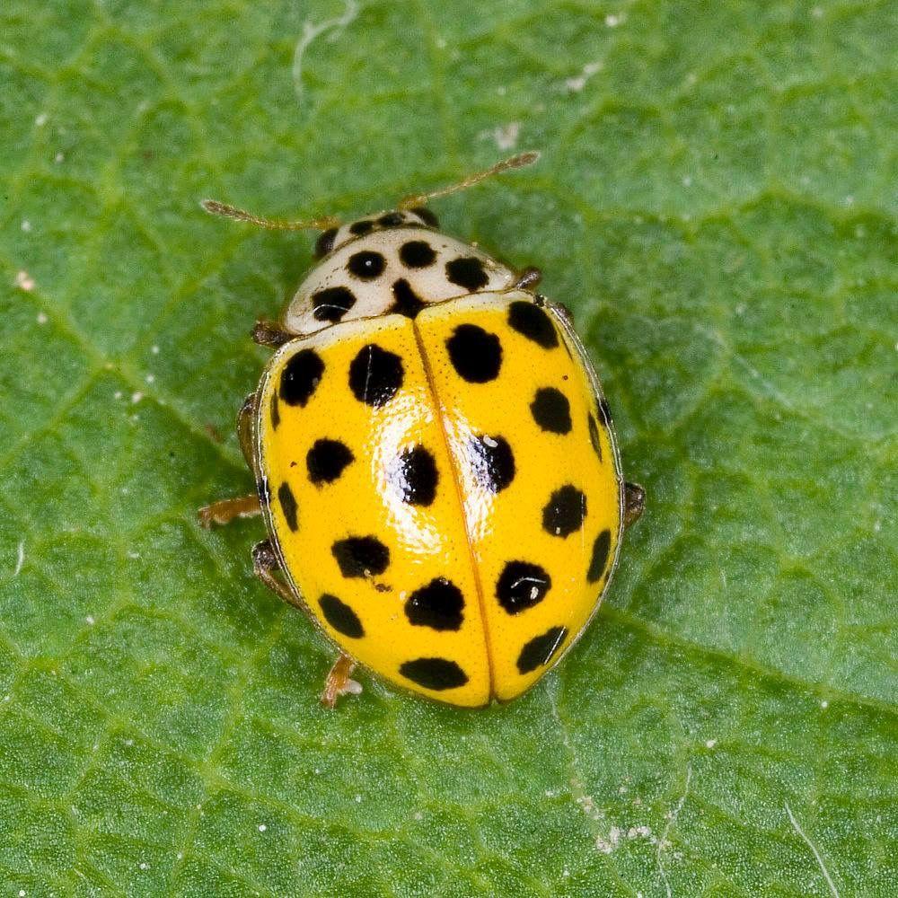 Yellow Ladybug Lady Beetle Ladybug
