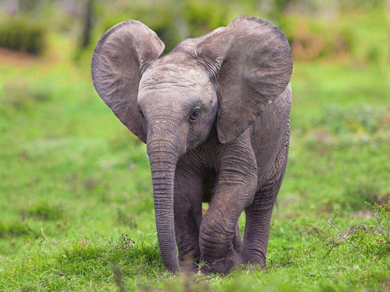 baby elephant wallpaper http://vicvapor/baby-elephant
