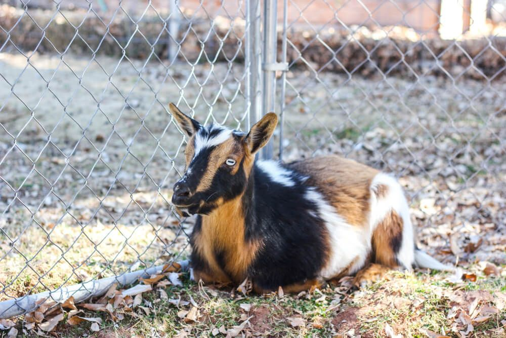 How much space do you need to raise goats | Goats | Pinterest