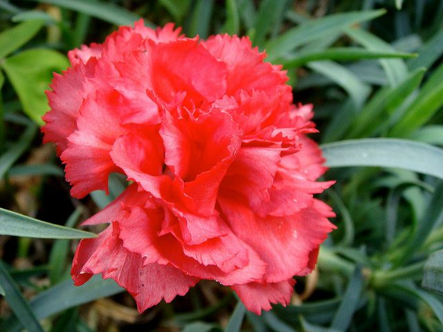 Red Carnation Ohio State Flower Flowers Pink Flowers Background Red Carnation