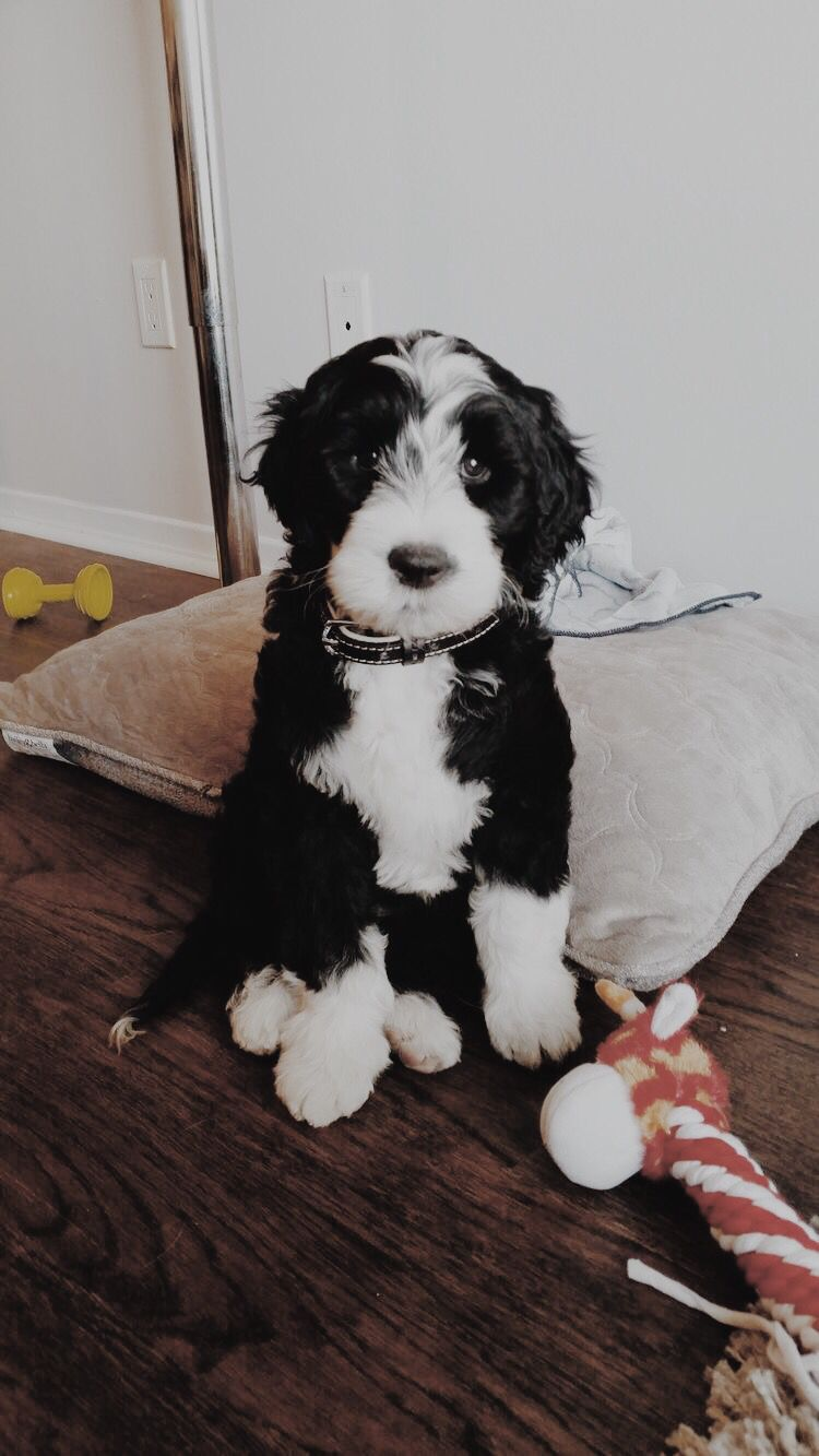 Portuguese Water Dog Portuguese water dog puppy, Water