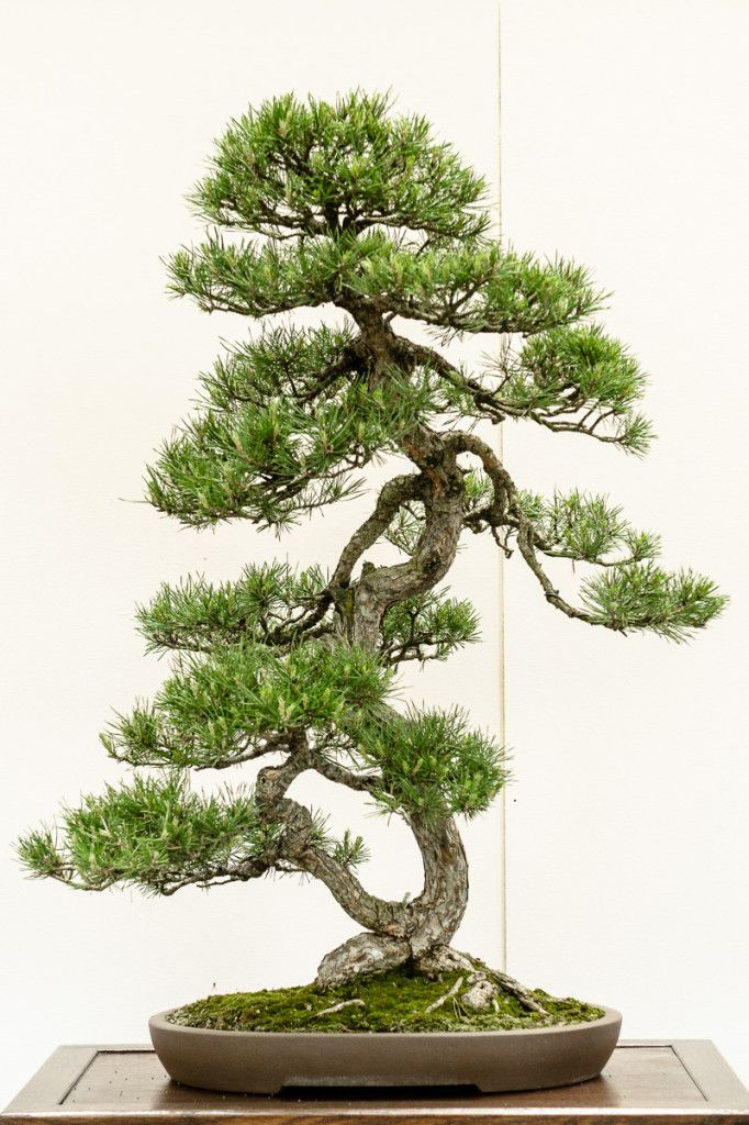 wald kiefer pinus sylvestris als bonsai bonsai b ume. Black Bedroom Furniture Sets. Home Design Ideas