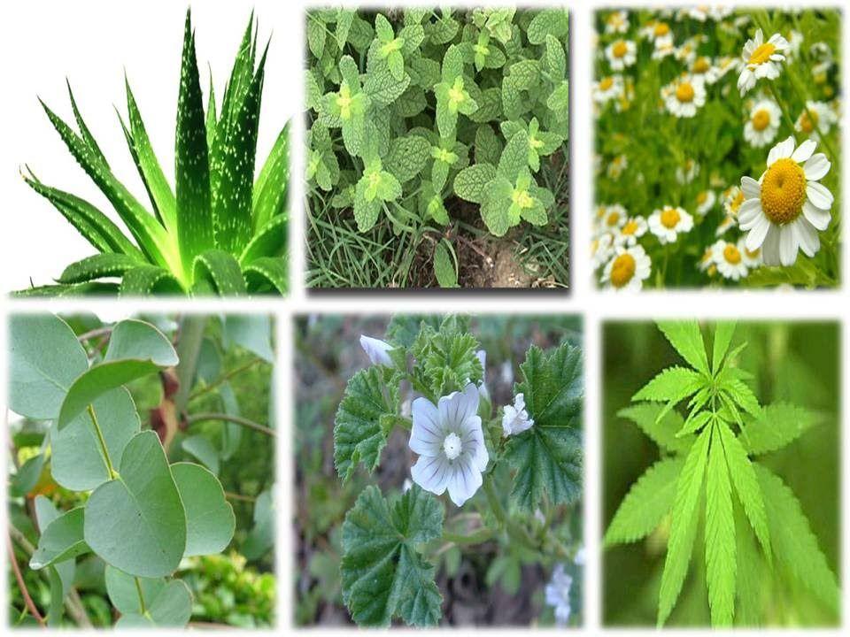 Resultado de imagen para dibujos de plantas medicinales | Plantas ...