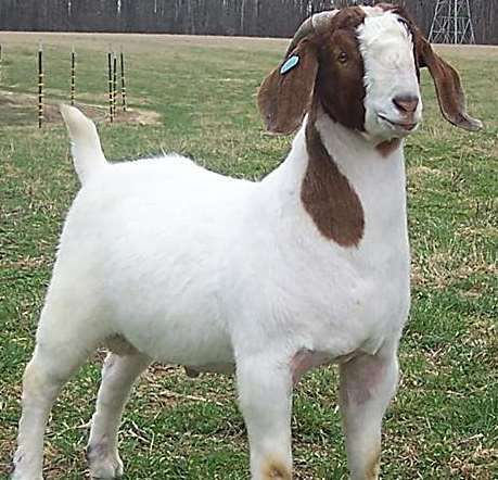 Boer Goat Breed Information Guide | Boer goats | Boer goats, Goats
