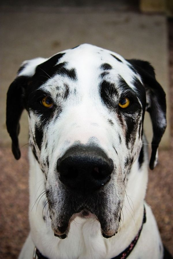 Black And White Spotted Great Dane By Frances With Images Dane