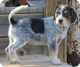 Beagle Australian Cattle Dog Mix Australian Cattle Dog Mix Blue