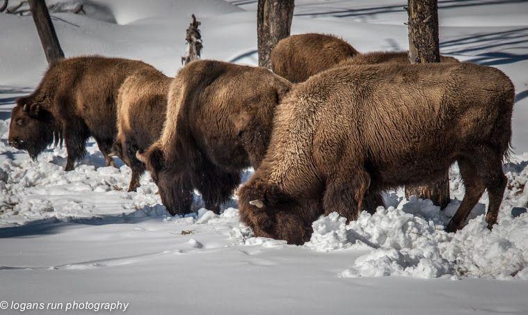Grazing Buffalo ( Bison ) in the snow. Yellowstone, Wyoming