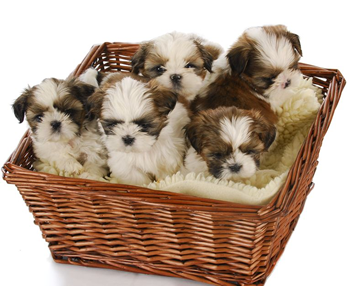 Shih Tzu Puppies For Sale In Westchester Ny Shih Tzu Puppy Cute Puppies Images Puppies