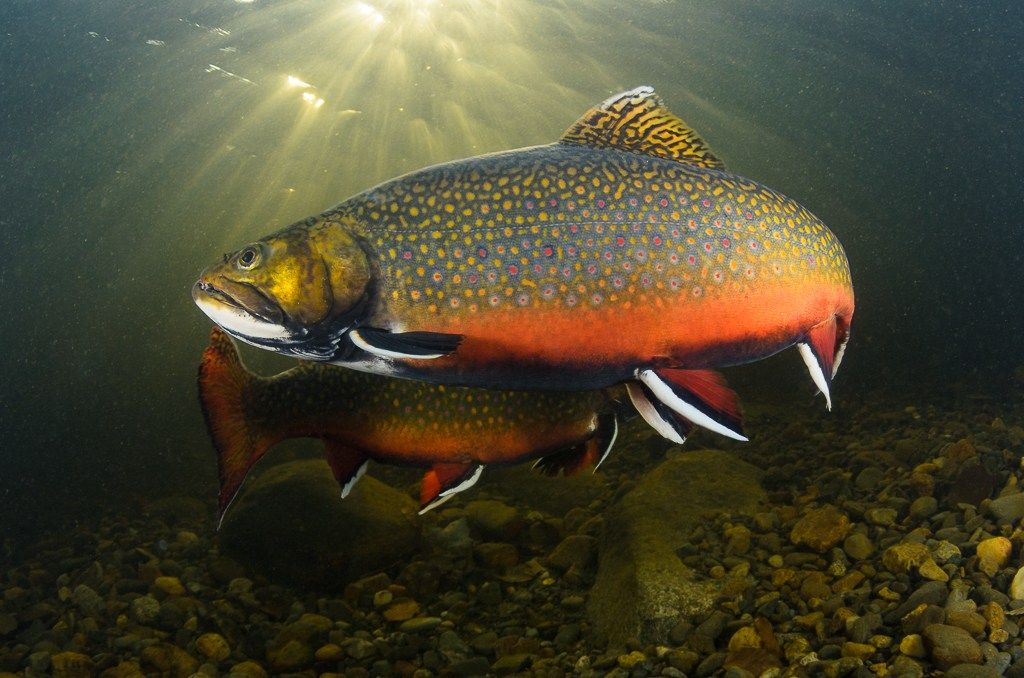 From Giant Brook Trout To Salmon To Stripers Maine Has Some Of The Best Fly Fishing In The Country Here Is A Bunch Fly Fishing Flies Trout Brook Trout Trout
