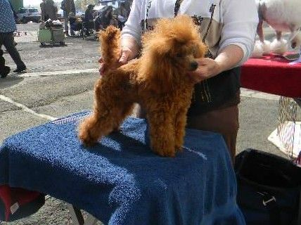 Toy Poodle Breeder San Francisco Bay Area Feels Free To Follow Us
