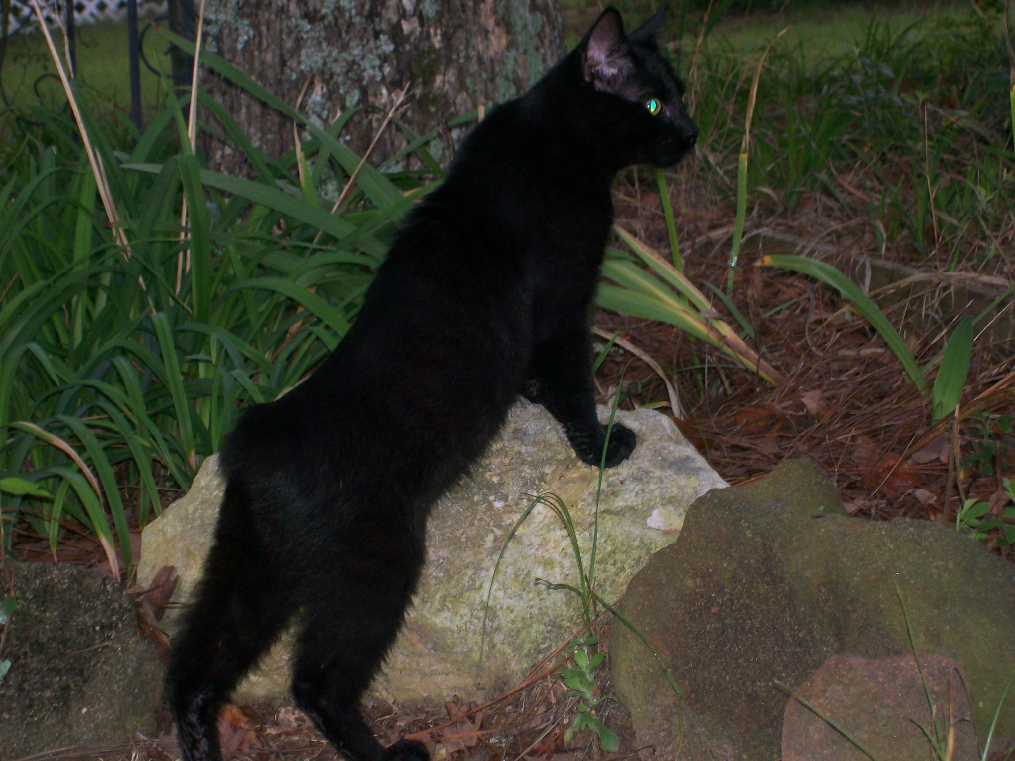 In The Garden One Of My Favorite Pics Of Smudge Manx Black Bear