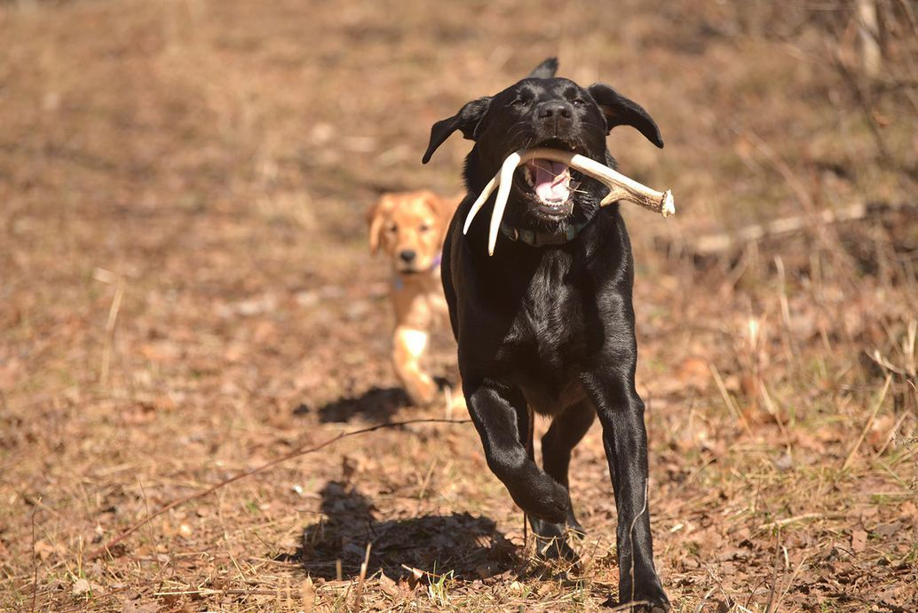 7 Myths About Shed Hunting Dogs In 2020 Dog Antlers Dog Nose