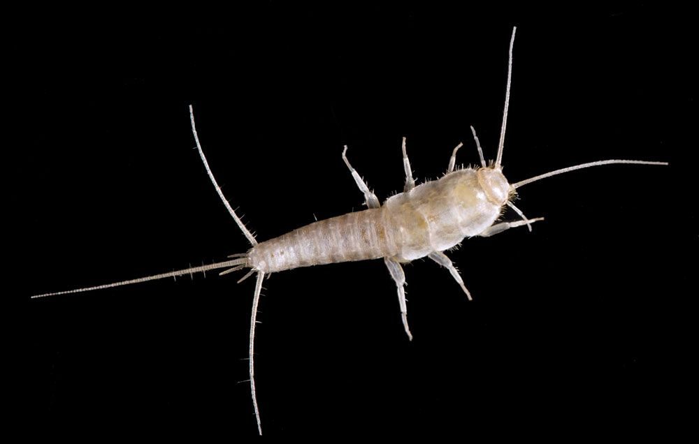 5 Ways To Get Rid Of Silverfish Get Rid Of Silverfish