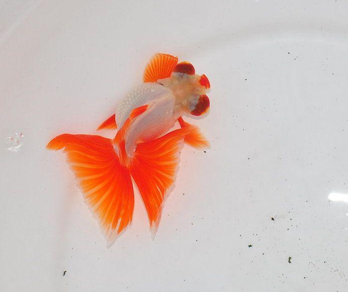 12 point red butterfly fancy goldfish pinterest for Koi papillon