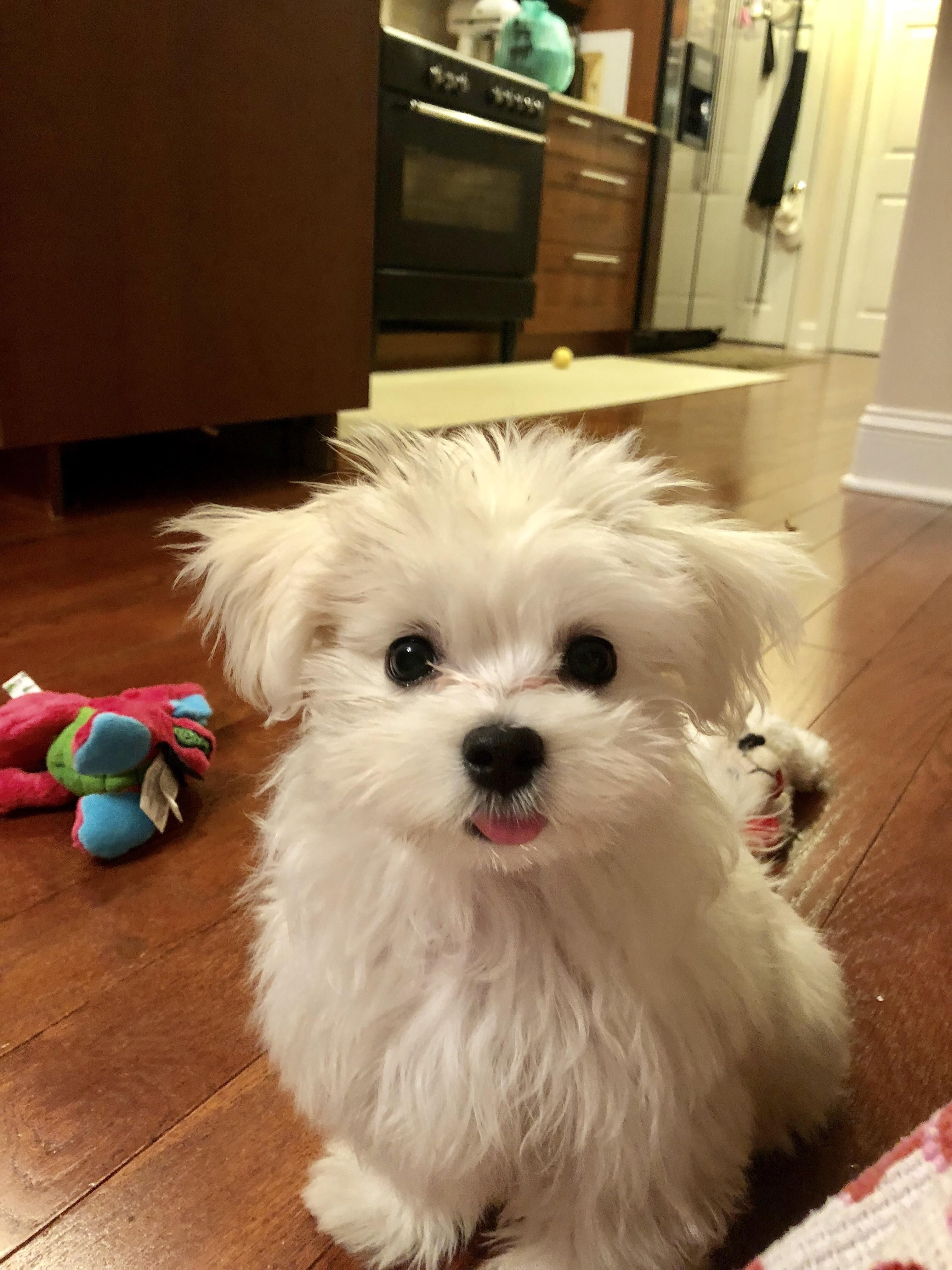 I Hope This Sticking My Tongue Out Phase Never Goes Away Because Its Just The Cutesthttps I Redd It 09n5e5tuvl121 Maltese Dogs Care Cute Animals Maltese Dogs