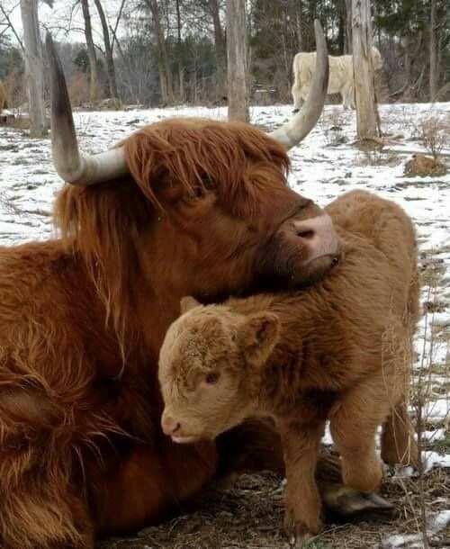 Scottish cow & calf ❤️