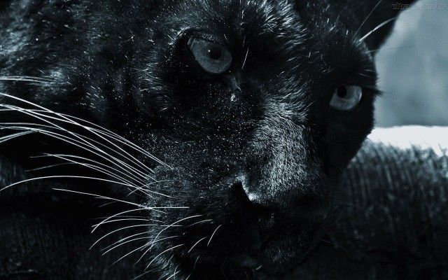 Black Jaguar Animal Wallpaper Hd Black Jaguar Animal Black Panther Cat Jaguar Animal