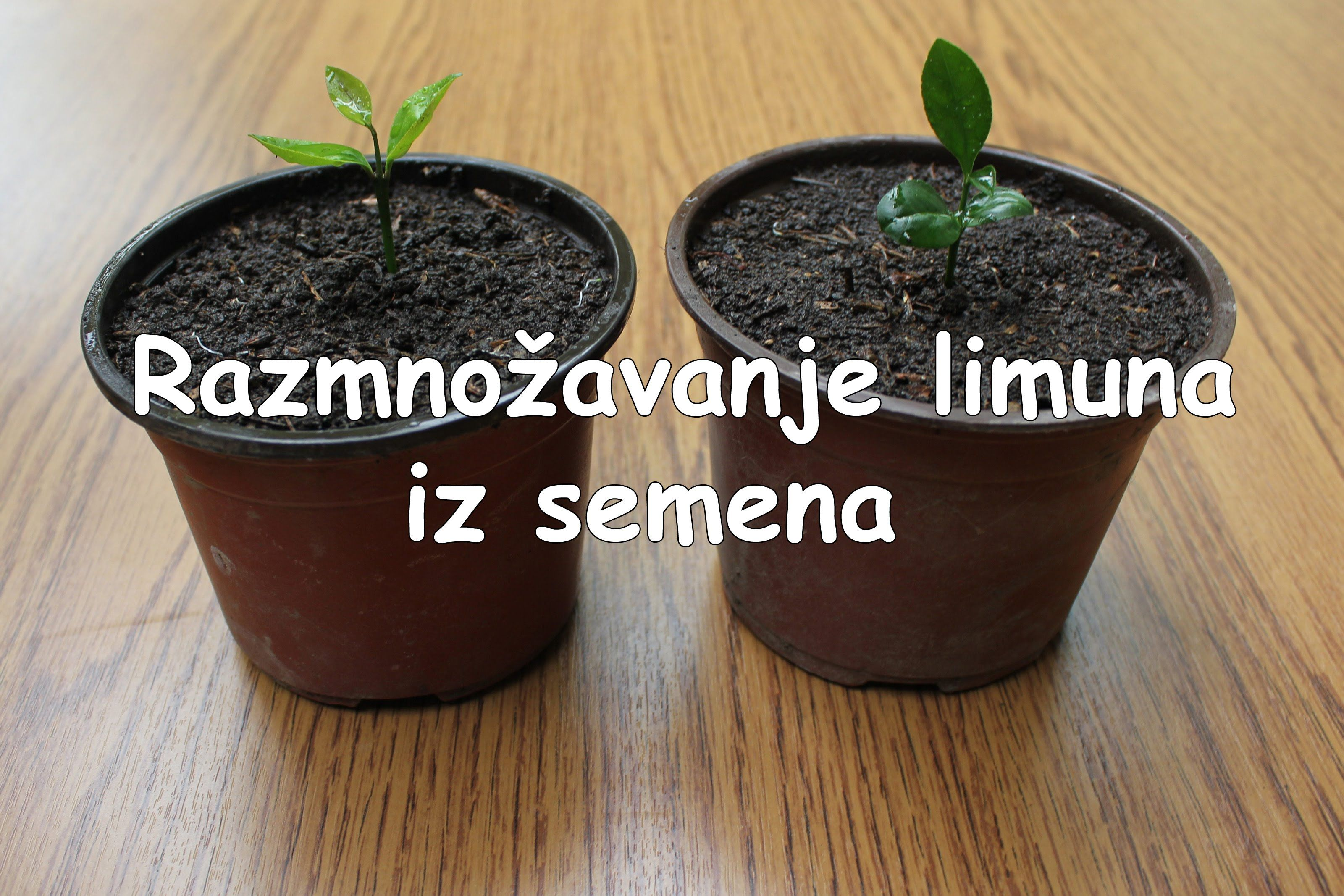 Growing lemon from seed seeds growing planter pots